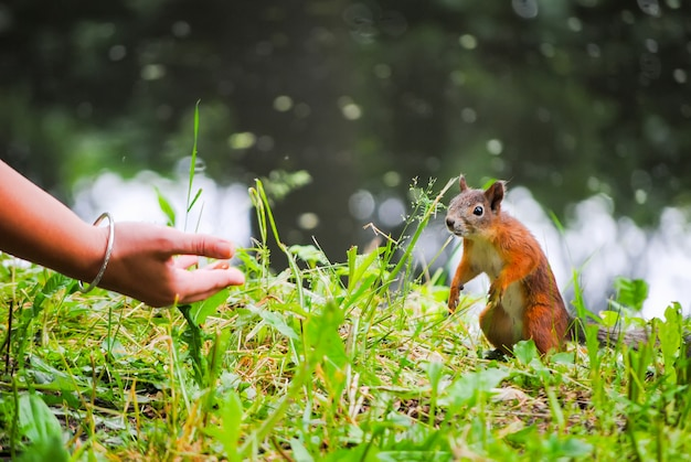 Squirrel eats nuts from the girl's hands