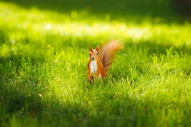 Белка в траве в парке летом