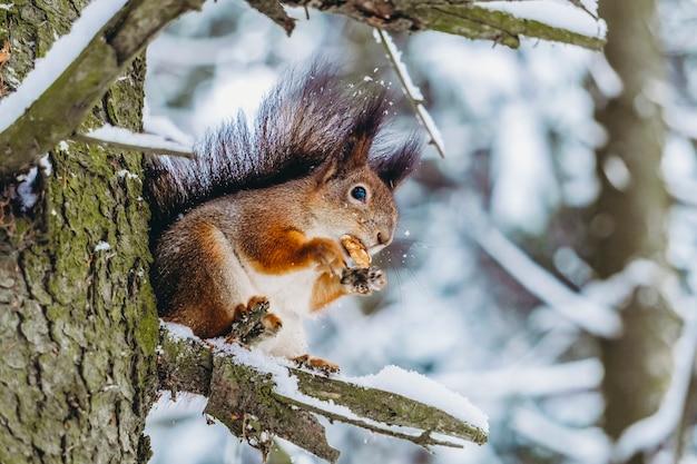 Белка в зимнем лесу. белка сидит на ветке дерева и ест в солнечный зимний день.