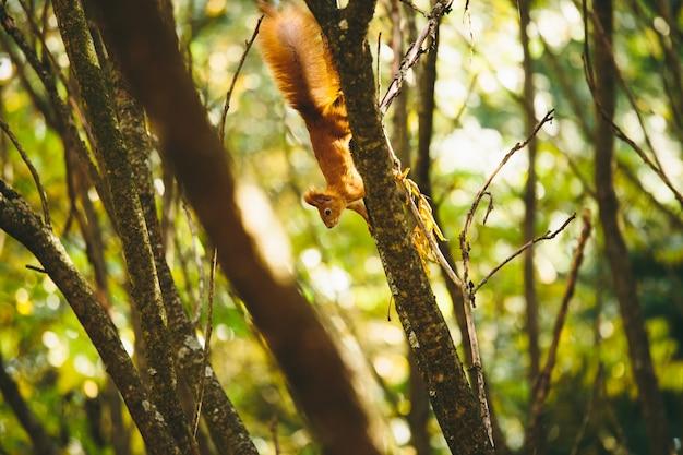 Белка прыгает по деревьям
