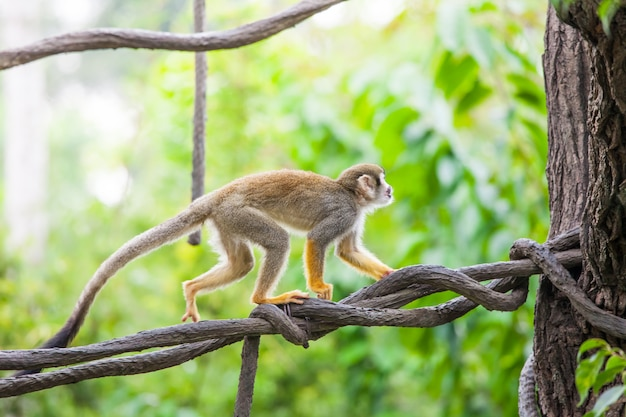 Squirrel monkey on branch tree