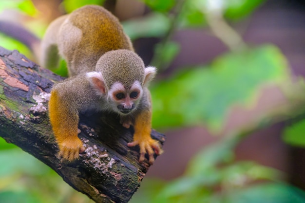 Squirrel monkey on a branch in the zoo
