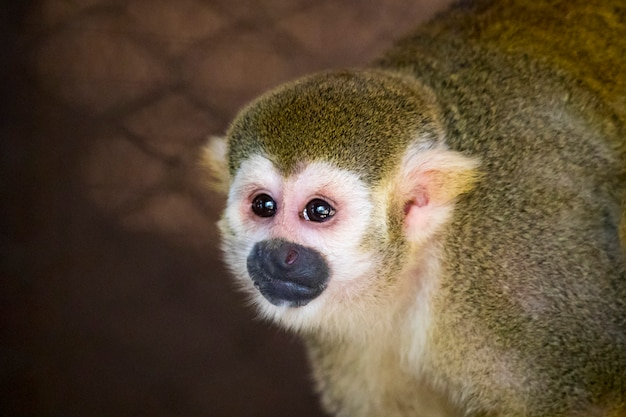 Squirrel monkey in the cage.