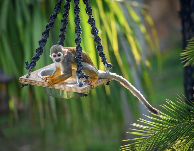 Squirrel monkey on a feeder