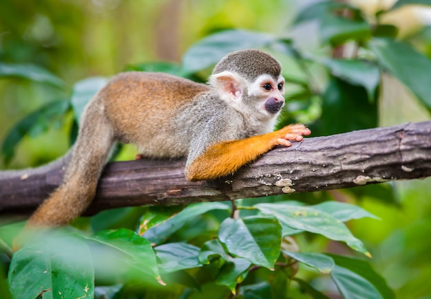 Squirrel monkey in the green forest