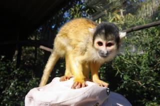 Squirrel monkey  hair