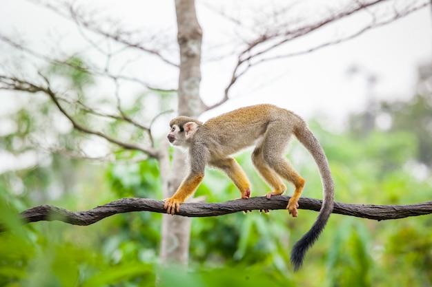 Белка обезьяна в зеленом лесу