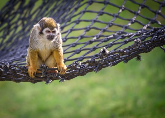 Squirrel monkey sits on a net