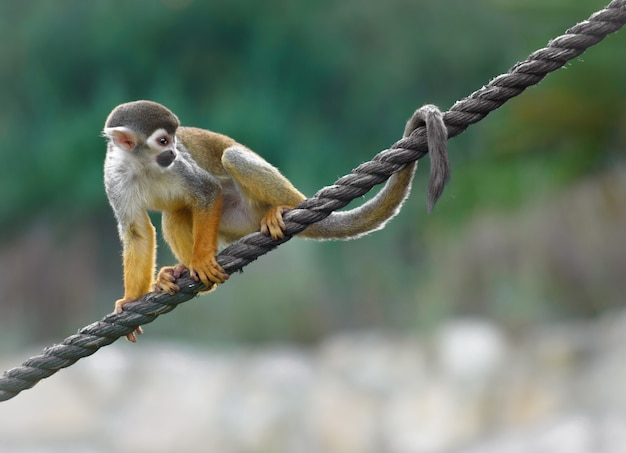 Squirrel monkey sits on a rope