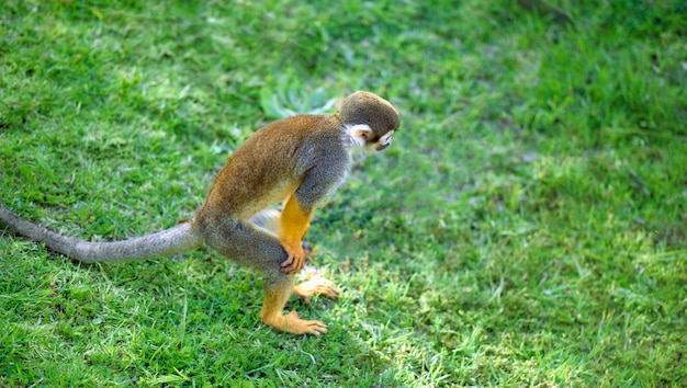 Squirrel monkey standing in a funny pose searching something in the grass