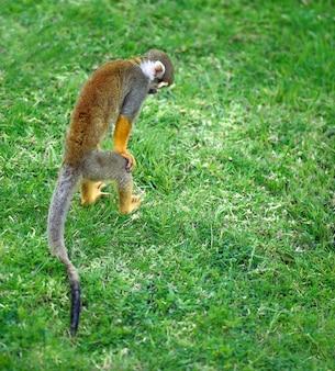 Белка обезьяна стоит на задних ногах, ища что-то в траве