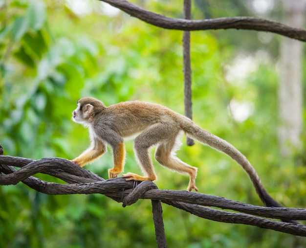 Squirrel monkey, wild nature background