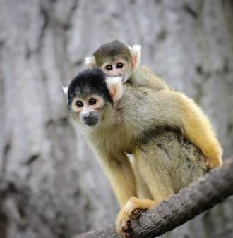 Squirrel monkey with its baby sits on a rope in a zoo