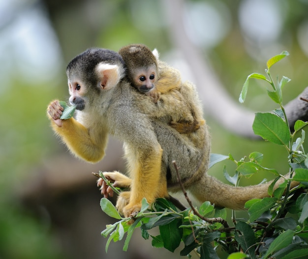 Squirrel monkey with its baby sits on a tree branch eating leaf