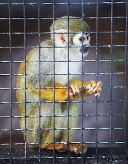 Squirrel monkey in zoo