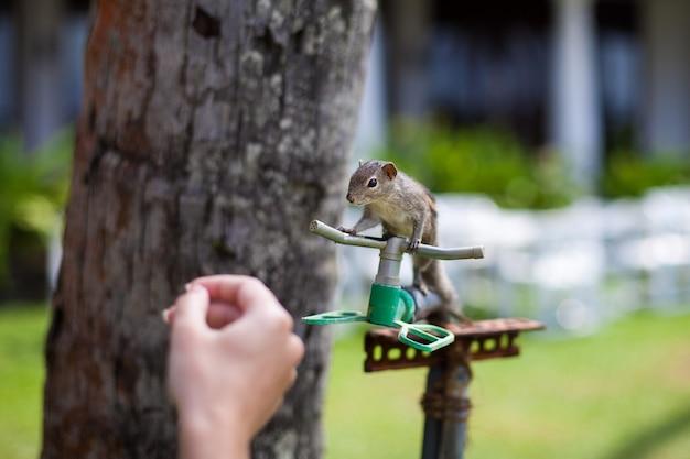 Белка на пальме крупным планом пытается пить воду из ирригационной системы отеля