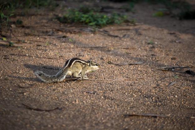 地上のリスまたは齧歯動物またはシマリスとしても知られています
