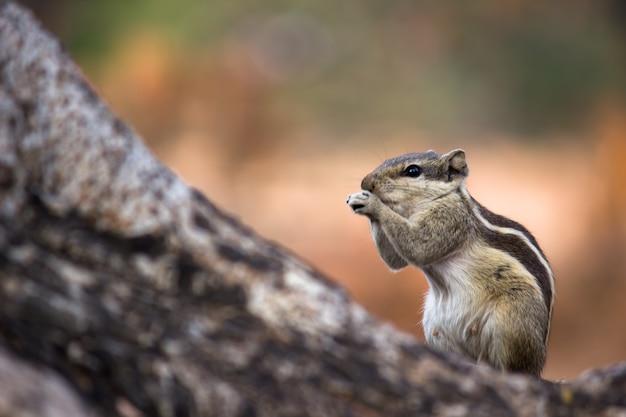 リスまたは齧歯動物、または柔らかく美しい背景の木の幹のシマリスとしても知られています