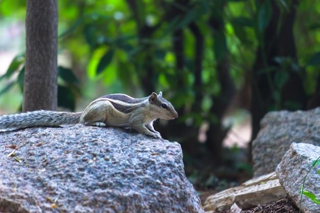 リスまたは齧歯動物、または木の幹のシマリスとしても知られています
