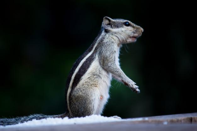リスまたは齧歯動物、またはシマリスとしても知られている、地面に立ち止まっている