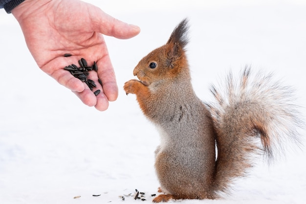 Squirrel reaching for the nut