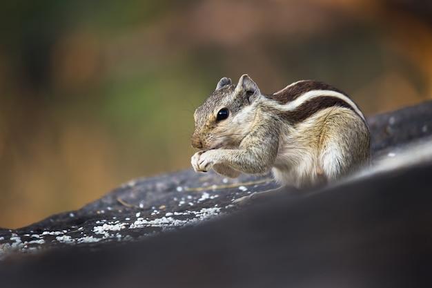 リスロ齧歯またはシマリスとしても知られているぼやけた背景の岩の上に一時停止
