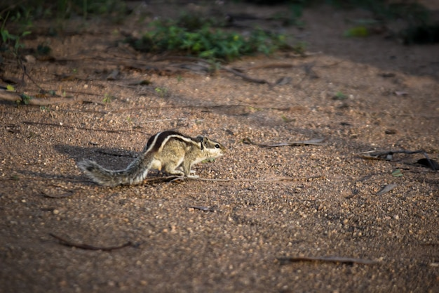 Squirrel or rodent or also known as chipmunk, on the ground