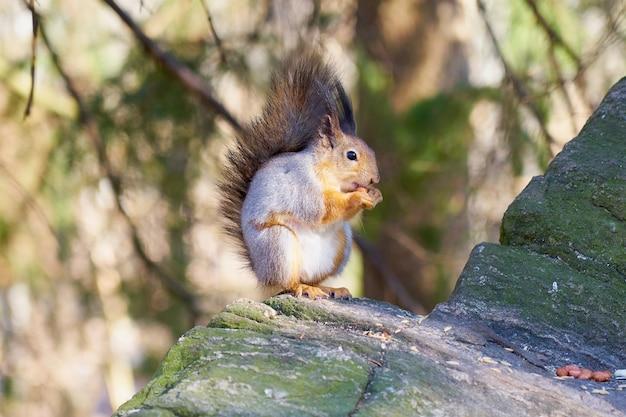 다람쥐는 햇볕에 돌 위에 앉아 너트를 먹는다.