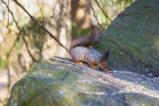 다람쥐는 햇볕에 돌 위에 앉아 너트를 먹는다. 프리미엄 사진