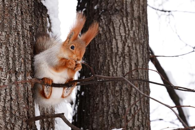 Белка сидит на ветке дерева и ест орех