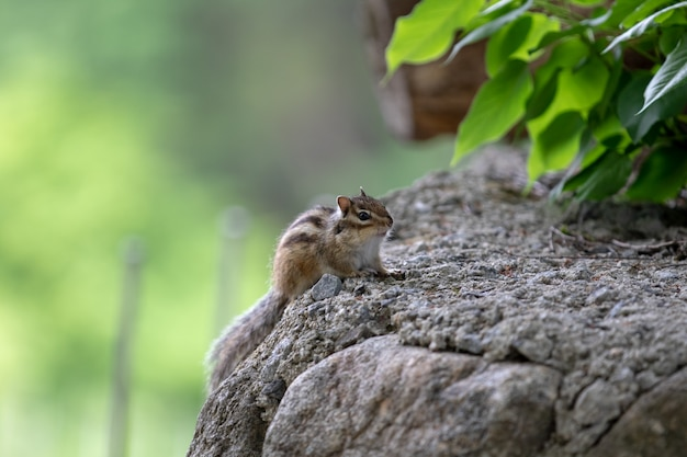 Squirrel sitting on a stone
