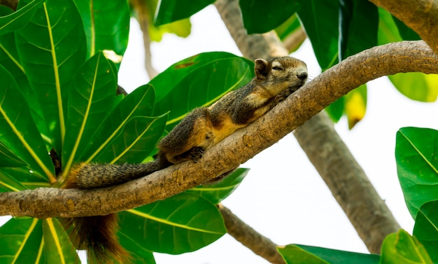 Squirrel sleeping on branch of tree with green leaves after have lunch on midday. relaxing time on summer vacation of cute squirrel .