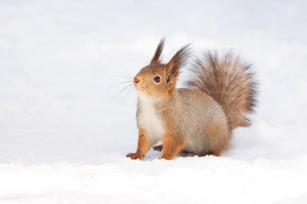 Белка снежная зима