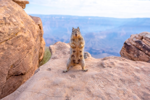A squirrel standing the canyon in south kaibab trailhead. grand canyon, arizona