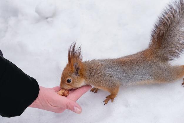 Белка берет орех из протянутой руки