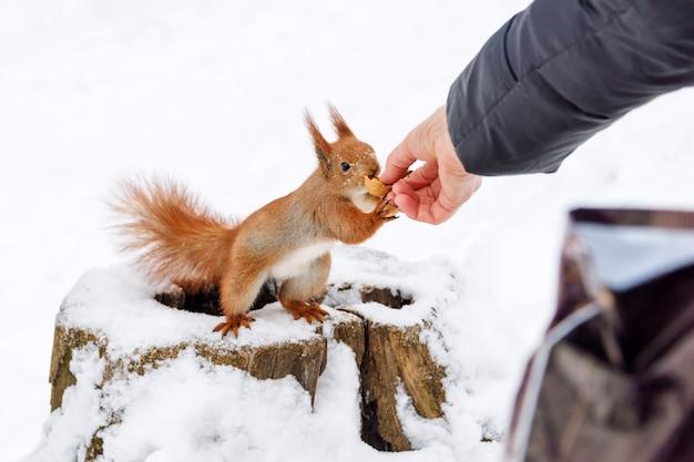 人間の手からヘーゼルナッツを取るリス
