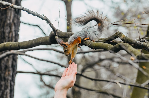 Squirrel touches a human hand on a tree in a spring forest.