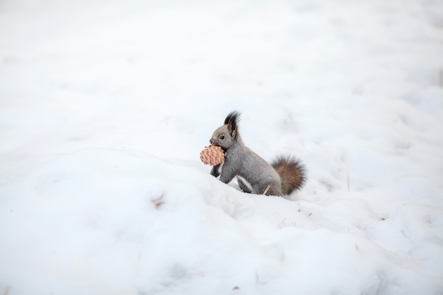Squirrel with cedar cone on snow. winter park or forest
