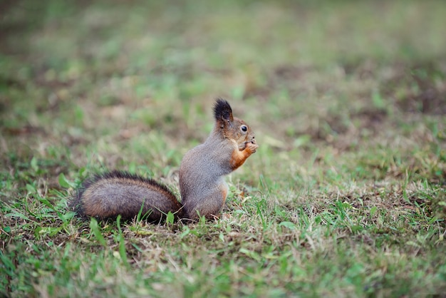 Squirrel with a fluffy tail in the forest on the grass gnawing nut