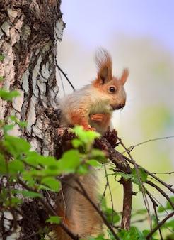 Squirrels in spring in siberia closeup portrait of a red squirrel