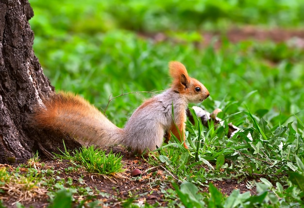 Squirrels in spring in siberia the squirrel stands in the thick grass fullface
