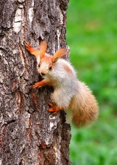 Squirrels in spring in siberia a young squirrel caught on the bark of a birch tree