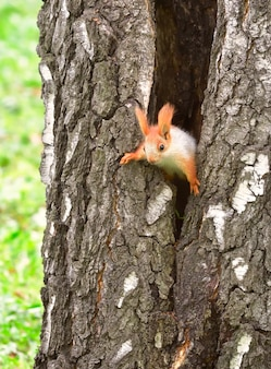 Squirrels in spring in siberia a young squirrel comes down the trunk of a tree