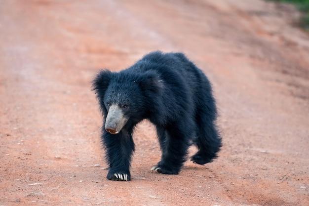 ヤラ国立公園でスリランカのクマ