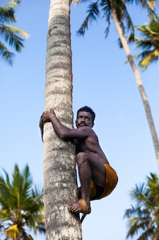 Sri lankan on coconut tree-gathering coconuts with rope close up.