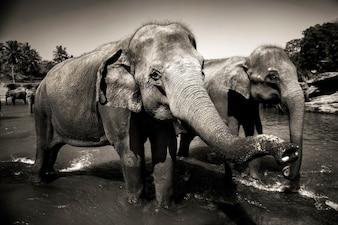 Sri Lankan elephants.