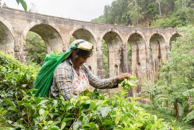 Sri lankan woman picking tea around the nine arch bridge.