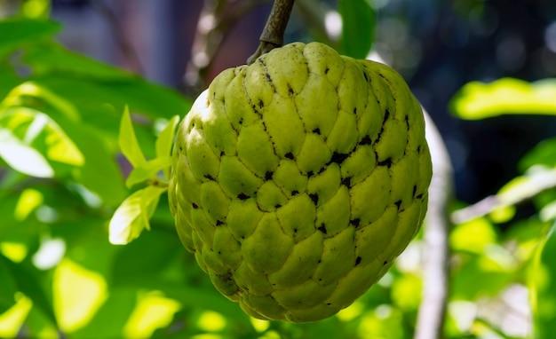 Srikayaまたはsugarappleまたはsweetsop(annona squamosa)、annona属のトロピカルフルーツ