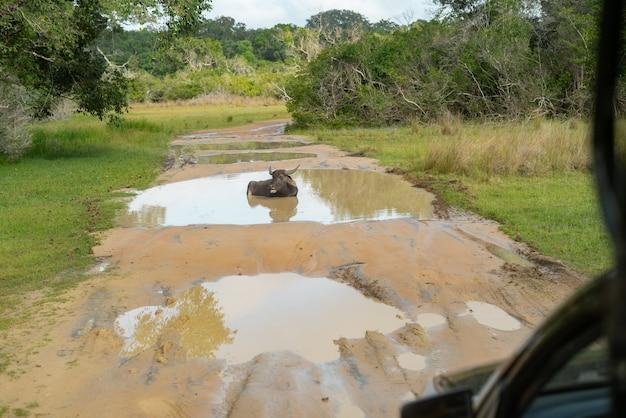 スリランカサファリ、自然の美しい野生の水牛ジープの水たまりの道
