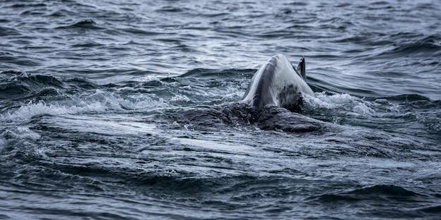 水泳中の海とクジラの尾